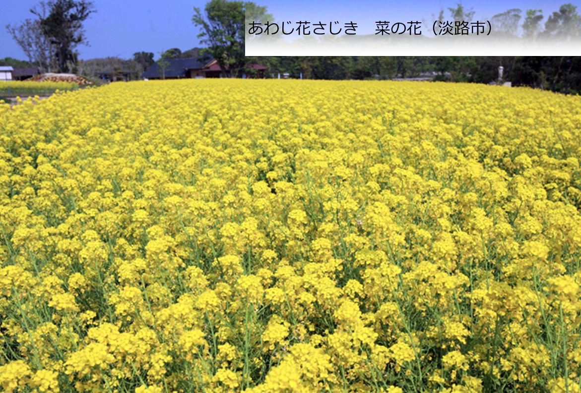 あわじ花さじき 菜の花(淡路市)